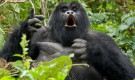mountain-gorilla-tour-uganda